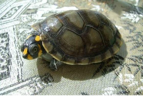 黄头侧颈龟可以深水养吗?