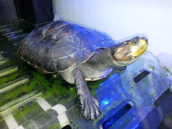 黄头侧颈龟有灵性吗