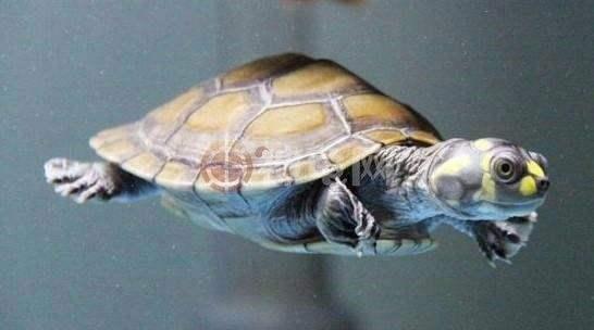 黄头侧颈龟能冬眠吗