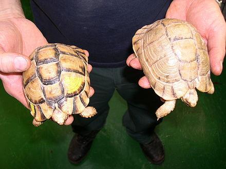 埃及陆龟能在水里养吗