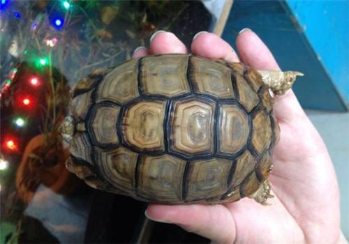 埃及陆龟吃什么