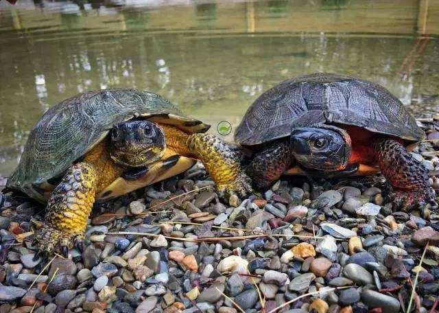 埃及陆龟保护级别