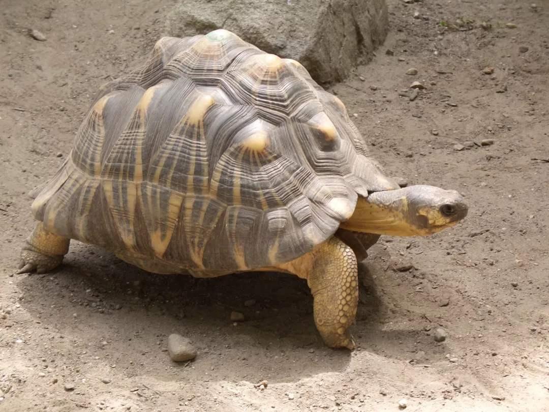 印度陆龟价格多少钱 印度陆龟的价格