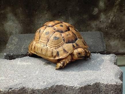 印度陆龟是保护动物吗