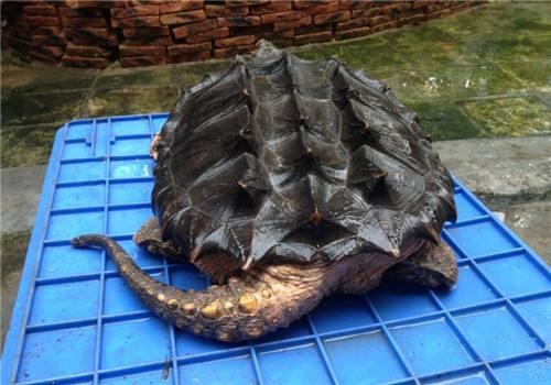 大鳄龟需要冬眠吗