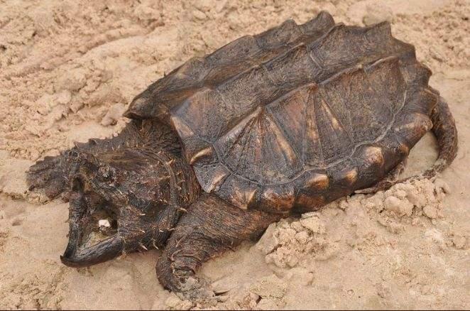 大鳄龟能冬眠吗