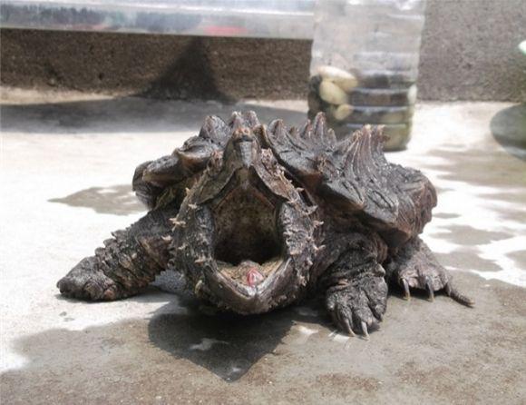 大鳄龟怎么养 大鳄龟饲养