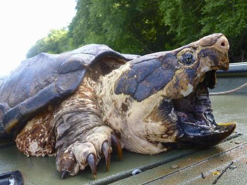 大鳄龟吃什么