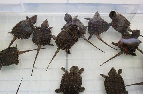 大鳄龟繁殖 大鳄龟的繁殖方式