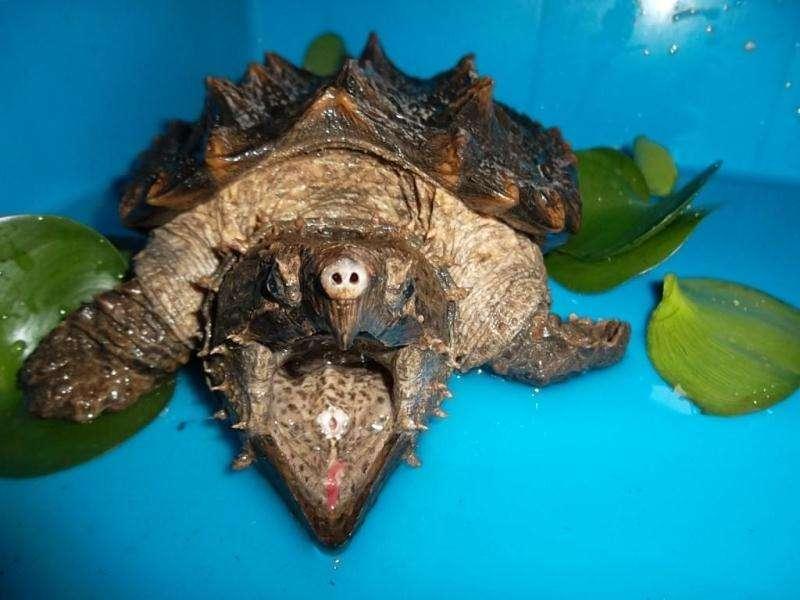 大鳄龟怕人怎么办