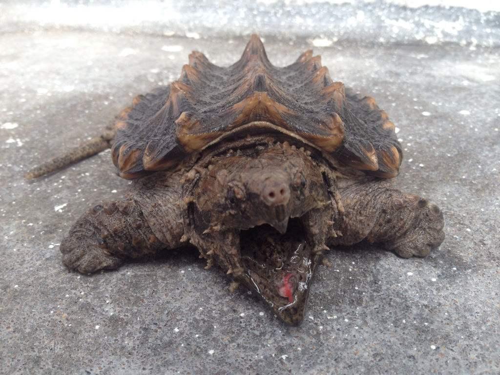 大鳄龟是深水龟吗