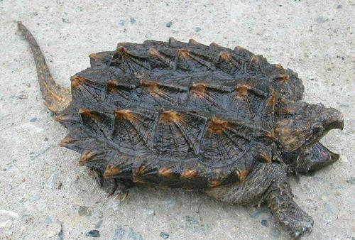 大鳄龟能深水养吗 大鳄龟可以深水养么