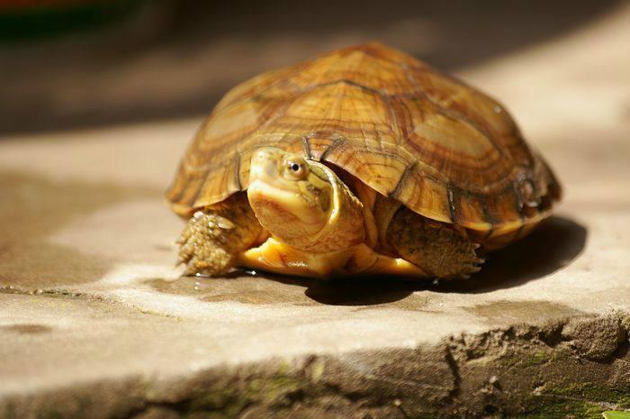 黄喉拟水龟性格 黄喉拟水龟凶吗