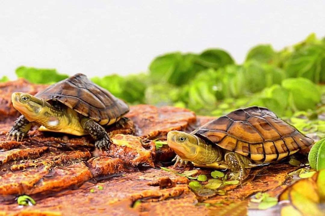 黄喉拟水龟亲人吗 黄喉拟水龟认主人吗
