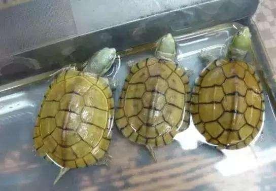 黄喉拟水龟怕人怎么办