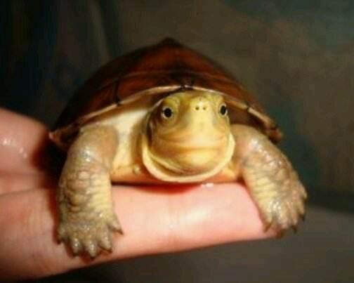 黄喉拟水龟是深水龟吗 黄喉拟水龟是深水吗
