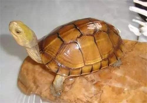 黄喉拟水龟可以水养吗