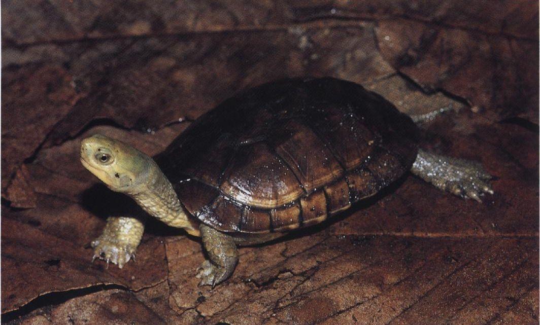 黄喉拟水龟属几级保护 黄喉拟水龟保护级别
