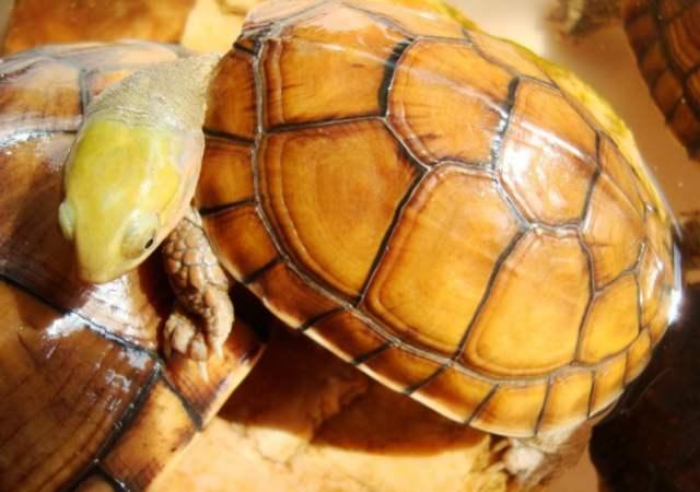 黄喉拟水龟需要晒台吗