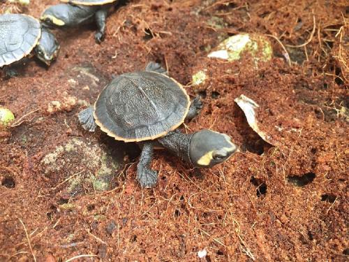 圆澳龟需要加温吗 圆澳龟不加温会死吗