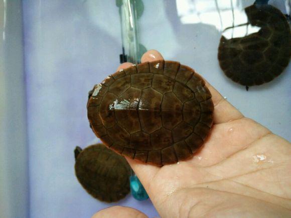 圆澳龟可以养在深水吗 圆澳龟是深水龟吗