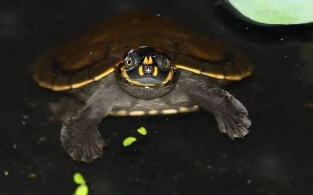 圆澳龟怎么分辨公母 圆澳龟公母区别