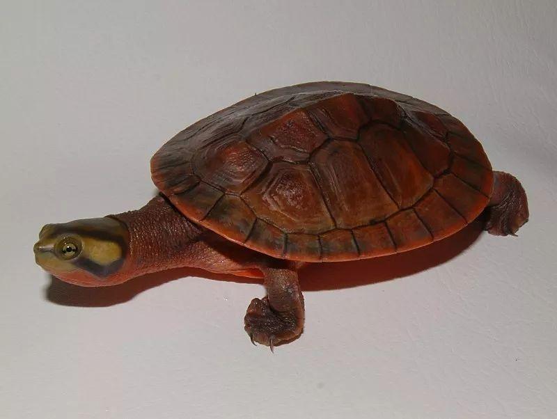 澳圆龟凶吗 圆澳龟凶不凶