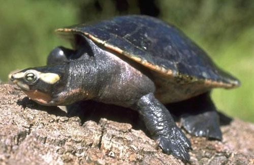圆澳龟亲人吗 圆澳龟认人吗