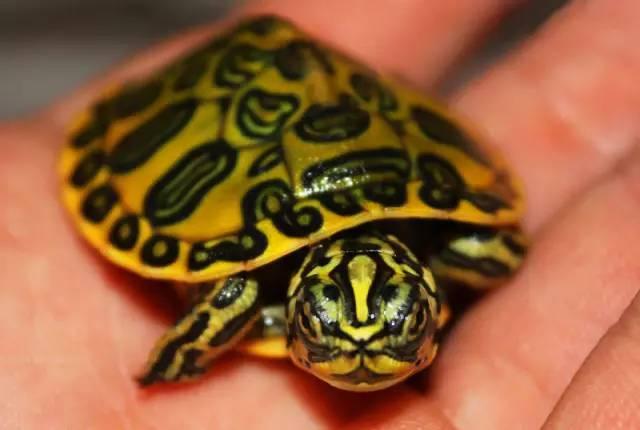 火焰龟繁殖 火焰龟的繁殖方式