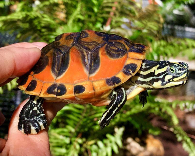 火焰龟需要冬眠吗