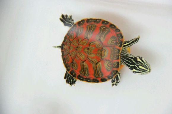 火焰龟认主人吗 火焰龟怕人怎么办