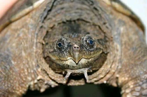 小鳄龟冬眠怎么处理 小鳄龟怎么冬眠
