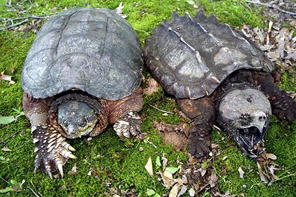 小鳄龟需要冬眠吗 小鳄龟能冬眠吗