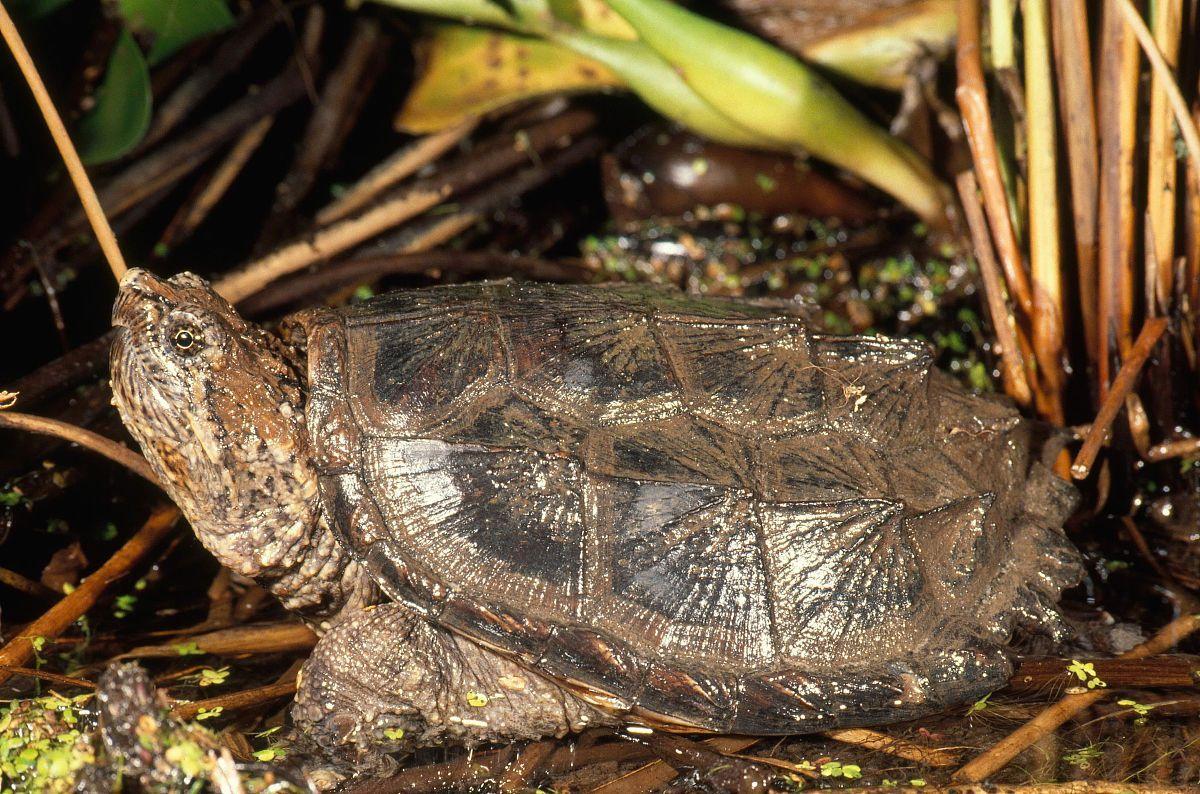 小鳄龟如何饲养