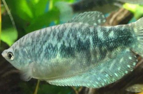 曼龙鱼寿命多长