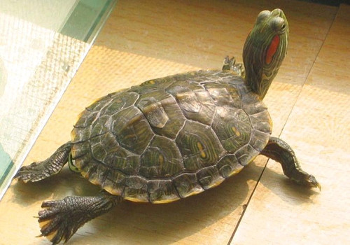 巴西红耳龟怕热吗