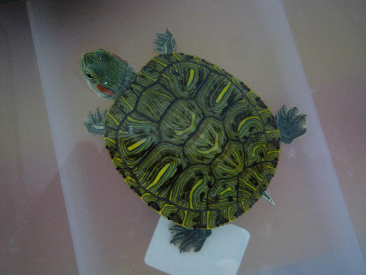 红耳巴西龟怎么分公母 巴西红耳龟怎么分雌雄