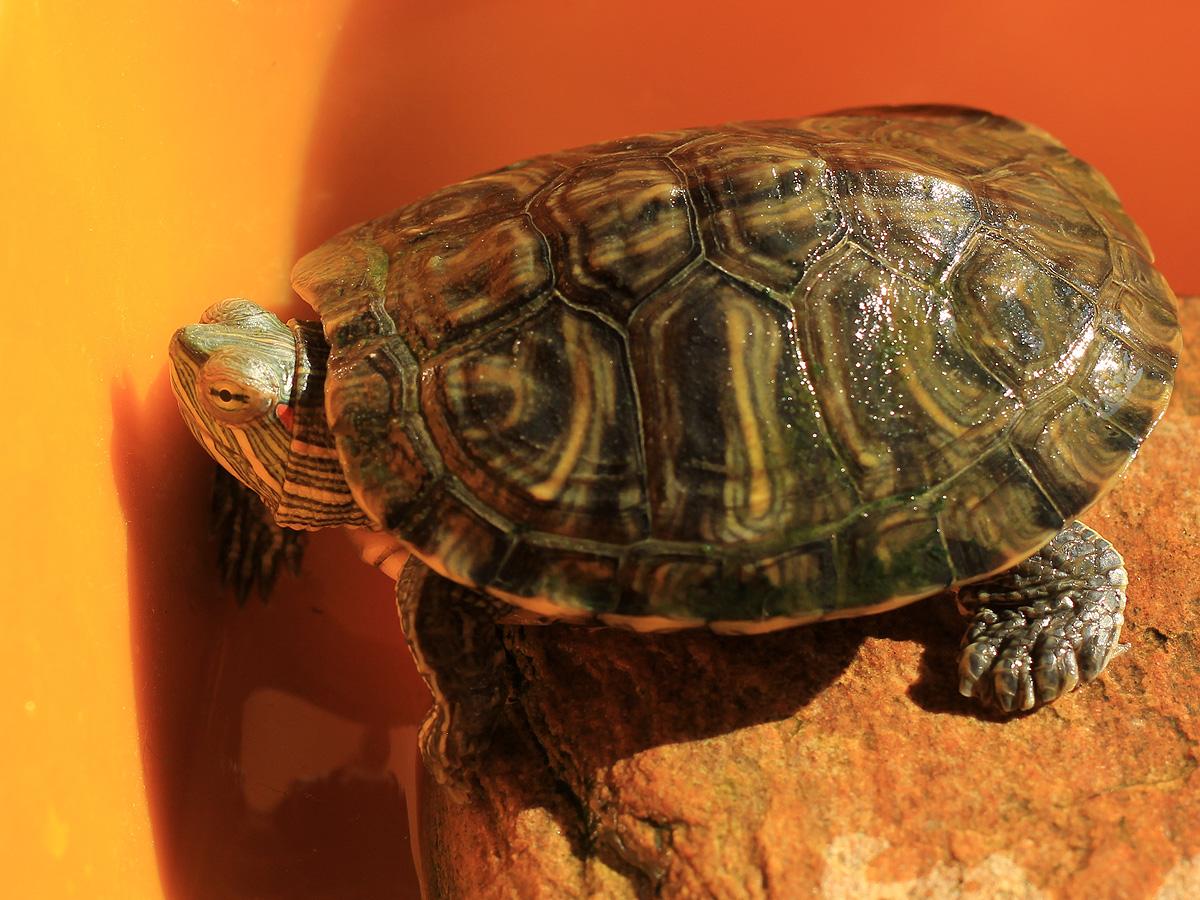 巴西红耳龟认主人是什么表现