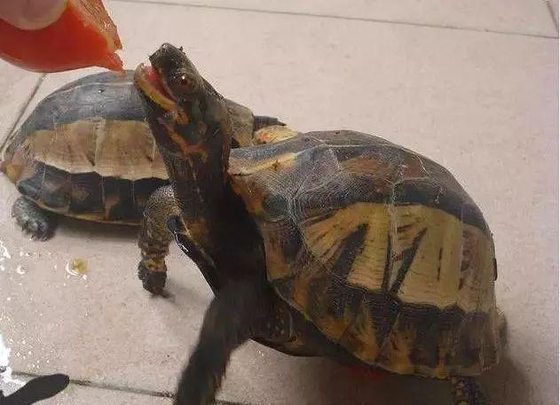 人工繁殖黄额闭壳龟 黄额闭壳龟繁殖环境