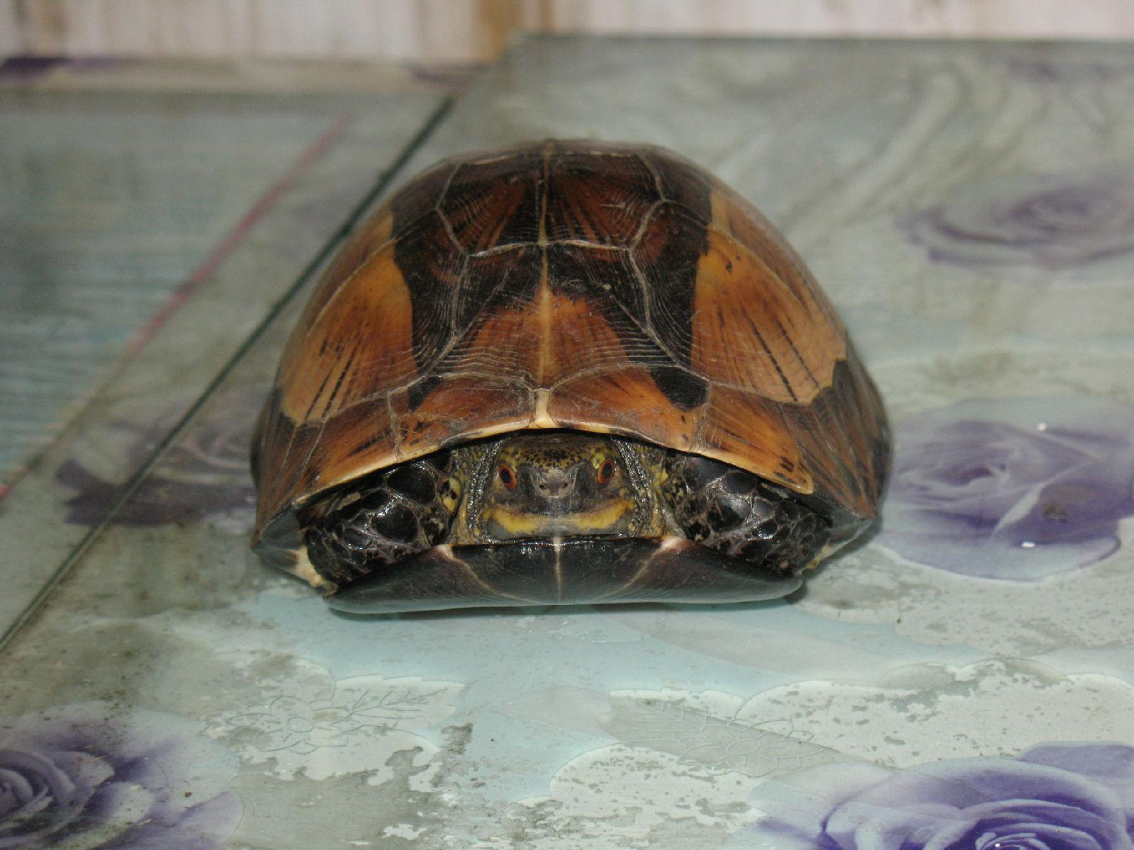 黄额闭壳龟饲养 黄额闭壳龟好养吗