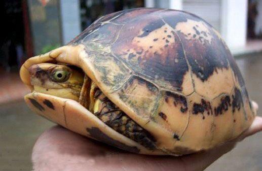 黄额闭壳龟如何饲养