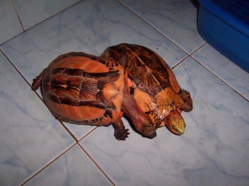 黄额闭壳龟多大能繁殖