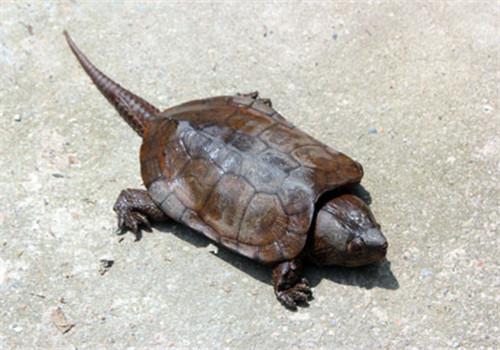 鹰嘴龟价格 鹰嘴龟的价格