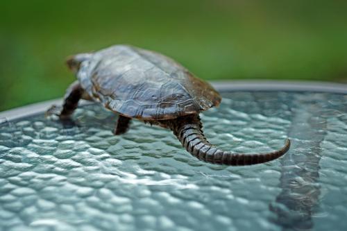 鹰嘴龟繁殖 鹰嘴龟的繁殖方式
