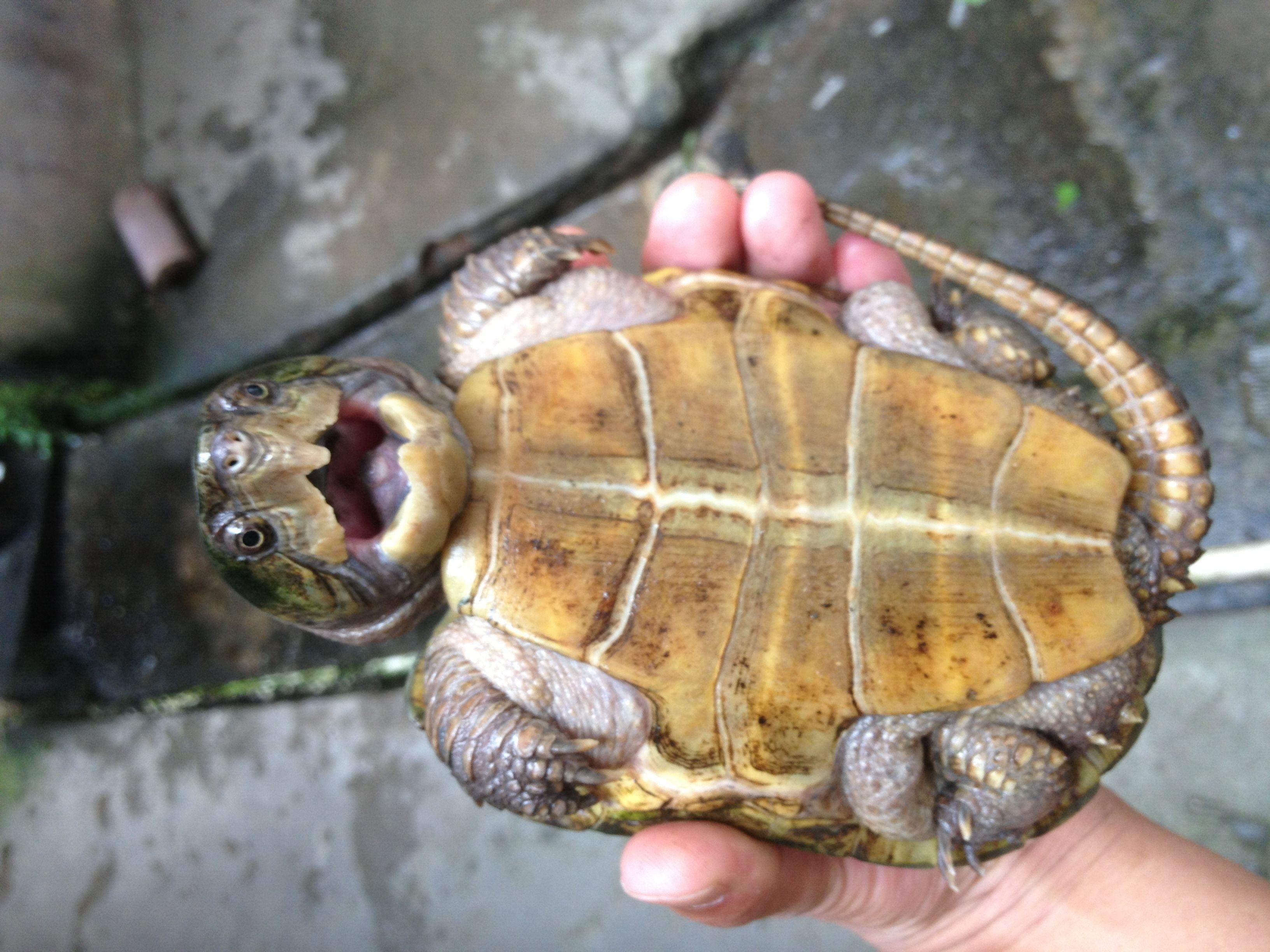 鹰嘴龟怎么过冬 鹰嘴龟冬天怎么养