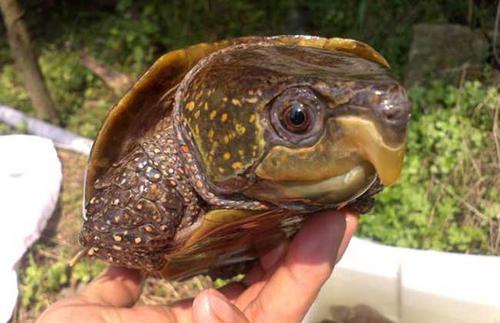 鹰嘴龟可以冷水过冬吗 鹰嘴龟怕冷吗