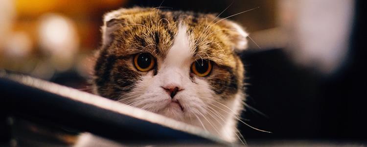 猫有眼屎怎么处理方法