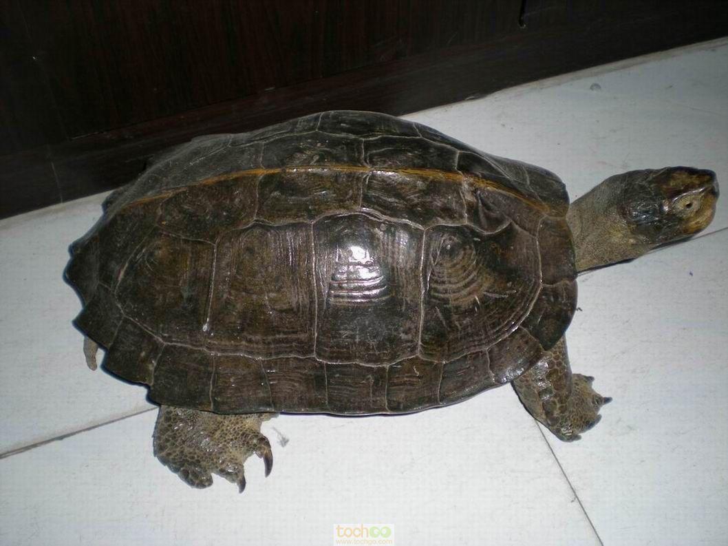 亚洲巨龟喜欢吃什么