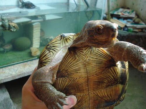 亚洲巨龟繁殖 亚洲巨龟的繁殖方式