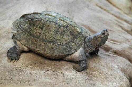 亚洲巨龟寿命最长多少年